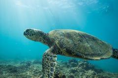 undervattens- havssköldpadda arkivbilder