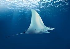 undervattens- havsstingray arkivfoton
