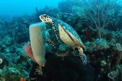 Undervattens- Hawksbill sköldpadda Royaltyfri Foto