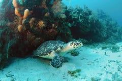 undervattens- hawksbillsköldpadda Arkivbilder