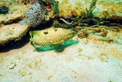 undervattens- hind rock för fiskhavsaborre arkivbilder