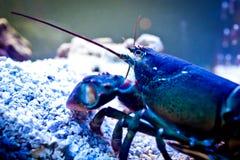 undervattens- hummer Arkivbild