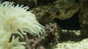 Undervattens- klunga för havsanemon stock video