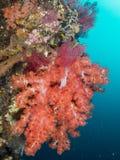 Undervattens- korallbildande, bali, indonesia Arkivbilder