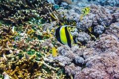 Undervattens- koraller och härlig tropisk fisk i Indiska oceanen Royaltyfria Foton