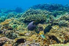 Undervattens- koraller och härliga tropiska fishs i Indiska oceanen Royaltyfri Fotografi