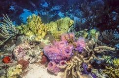 Undervattens- korallrev i karibiskt Arkivfoto
