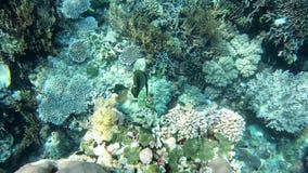 Undervattens- längd i fot räknat av tropiskt havliv lager videofilmer