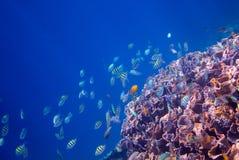 Undervattens- landskap av den tropiska kusten Vägg för korallrev i vatten för öppet hav Royaltyfri Bild