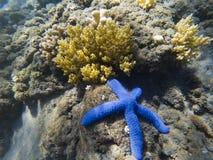 Undervattens- landskap för tropisk kust Korall- och blåttsjöstjärnacloseup Fotografering för Bildbyråer
