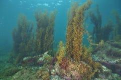 Undervattens- landskap i det tempererade havet Arkivfoto