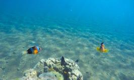 Undervattens- landskap med clownfisken Clownfish undersea foto Royaltyfri Bild