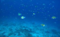 Undervattens- landskap med dascilluskorallfiskar Fotografering för Bildbyråer