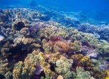 Undervattens- landskap med den tropiska fisken Clownfish och Surgeonfish mellan koraller och havsväxter Arkivfoto