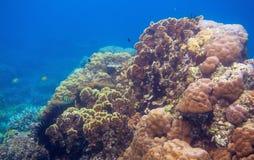 Undervattens- landskap med den tropiska fisken Exotiskt djurliv för grunt vatten för ö Royaltyfria Bilder
