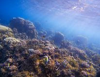 Undervattens- landskap med den tropiska fisken Morisk förebild för fjärilsfisk mellan koraller och havsväxter Royaltyfri Bild
