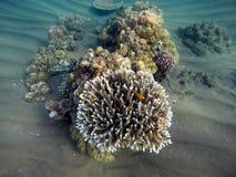 Undervattens- landskap med gulingfiskar och skarpa koraller Royaltyfria Foton