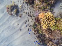 Undervattens- landskap med korallbildande och den tropiska fisken Skola för fisk för korallrev nära apelsin- och gulingkoraller Royaltyfri Foto