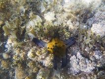 Undervattens- landskap med korallreven och den gula sjöstjärnan för blått Kuddesjöstjärna i havsvatten Royaltyfri Bild