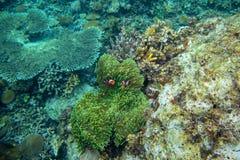 Undervattens- landskap med korallreven och orange clownfish Clownfisk i anemon Tropisk kust som snorklar eller dyker arkivfoton