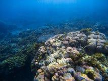 Undervattens- landskap med stor rund korall Undervattens- foto för tropisk kust Royaltyfri Fotografi
