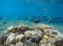 Undervattens- landskap med tropiska fiskar Landskap för korallrev med parrotfishen Royaltyfri Fotografi