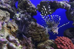 Undervattens- Lionfishbad Royaltyfri Bild