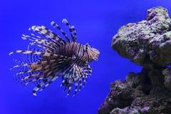 Undervattens- Lionfishbad Arkivfoto
