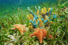 Undervattens- liv med färgrika svampar och sjöstjärnan Royaltyfria Bilder