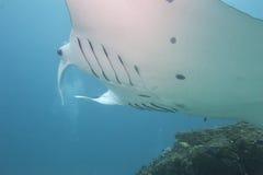 Undervattens- nära övre stående för Manta Arkivbild