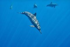 Undervattens- nära möte för delfin Arkivbild