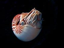 undervattens- nautilus royaltyfri bild
