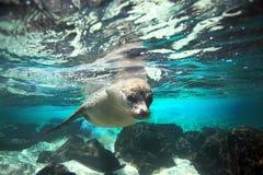 Undervattens- nyfiken sjölejon Arkivfoto