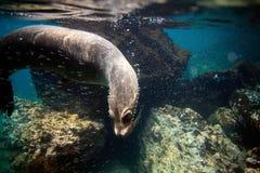 Undervattens- nyfiken sjölejon Fotografering för Bildbyråer