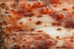 Undervattens- röd holothurian Arkivbilder