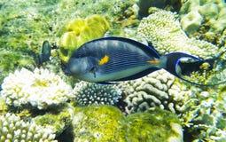 Undervattens- Röda havet för arabisk surgeonfish Royaltyfria Bilder