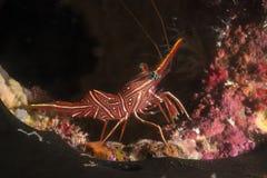 Undervattens- röd räka, Similan, Thailand Arkivbilder