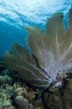Undervattens- seascape- och havsfan i Caribbeansen fotografering för bildbyråer
