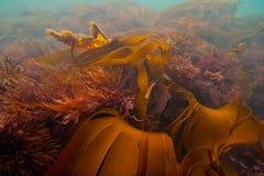 undervattens- seaweed royaltyfri foto