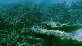 Undervattens- sikt av döda korallrever och härliga fiskar snorkeling Maldiverna, arkivfilmer