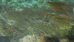 Undervattens- sikt av färgrik seagrass och stimen, 4k Arkivfoton