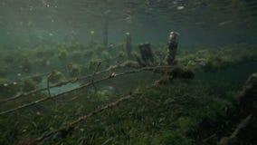 Undervattens- sikt av havsväxtlantgården med stycken av ogräset som binds på linjer och lämnas att växa arkivfilmer