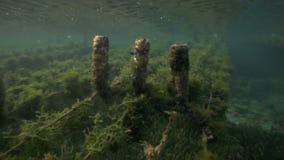 Undervattens- sikt av havsväxtlantgården med stycken av ogräset som binds på linjer och lämnas att växa lager videofilmer