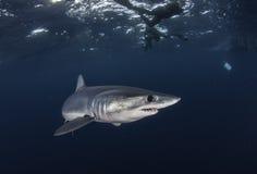Undervattens- sikt av simma för makohaj som är frånlands- från västra udde Sydafrika arkivfoto