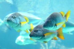 undervattens- sikt för snappers Royaltyfri Bild