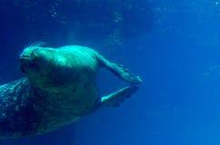 Undervattens- simningsjölejon Arkivbild