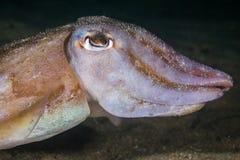 Undervattens- slut för gemensam bläckfiskSepiavermiculata upp arkivfoto