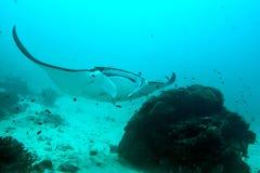Undervattens- slut för Manta upp ståenden, medan dyka Royaltyfria Foton