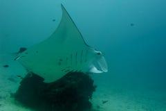 Undervattens- slut för Manta upp ståenden, medan dyka Arkivfoton