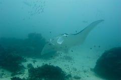 Undervattens- slut för Manta upp ståenden, medan dyka Royaltyfri Foto